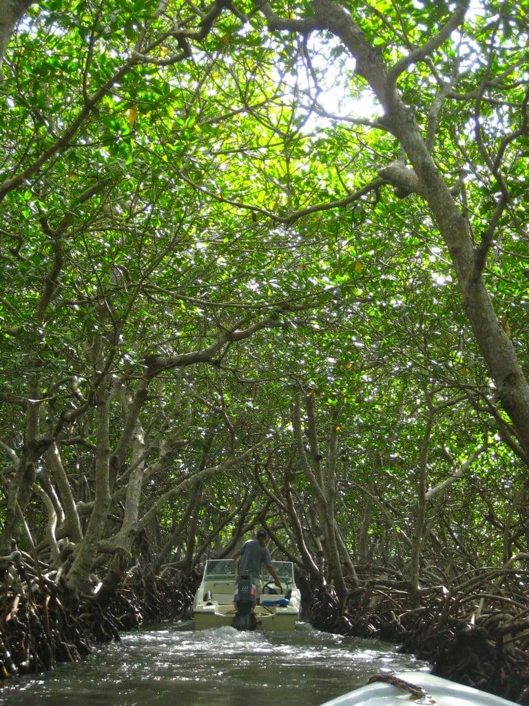 mangrove tour in roatan