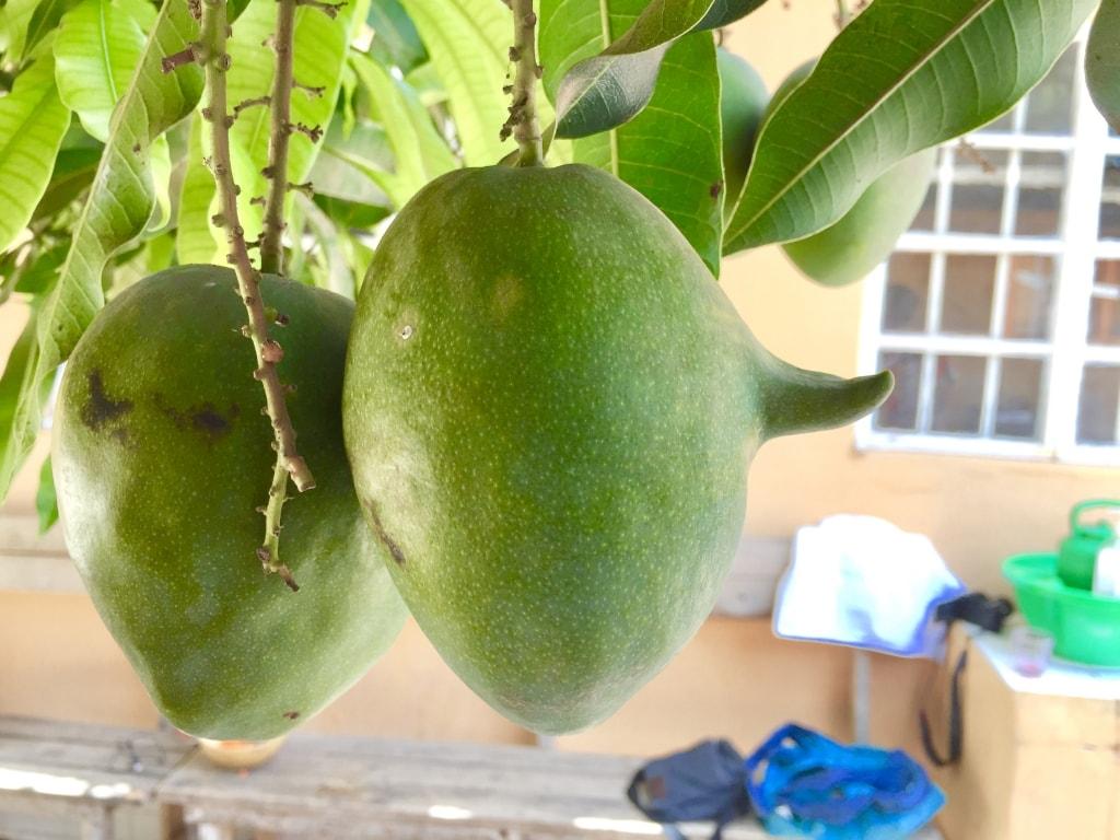 Horned Mango Gambia